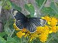 Mariposa parche negra (Chlosyne ehrenbergii).jpg