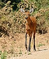 Marsh Deer (Blastocerus dichotomus) doe on the road ... (31639162036).jpg