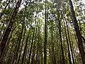 Masinagudi habitat Silver Oak Grevillea robusta IMG 20180505 124227678.jpg