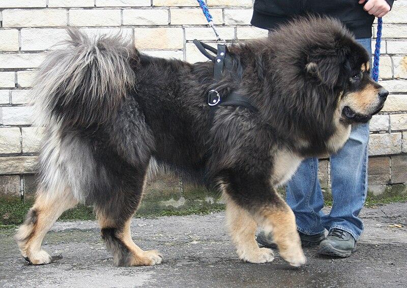 Se dice que del Mastín Tibetano o Dogo del Tíbet es del cual se derivan las demás razas de Mastines