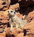 Meerkat 3 (3309882548).jpg