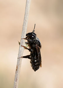 Megachile parietina female 1.jpg