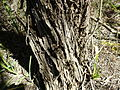 Melaleuca rhaphiophylla (bark).JPG