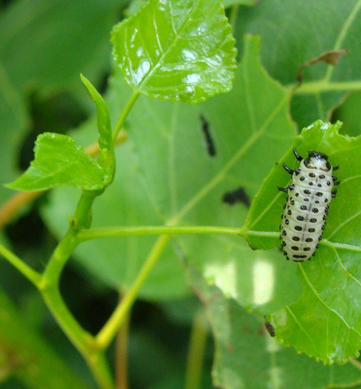 Liskavka topoľová - larva