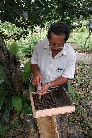 Tetragonula carbonaria - Meliponiculture in Malaysia