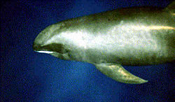 Melon-headed whale large.jpg