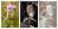 Mentha aquatica (Water mint) flower Vis UV IR comparison.jpg