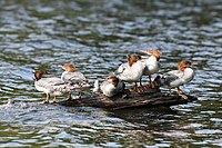 Mergus merganser juv Algonquin Tea Lake.jpg