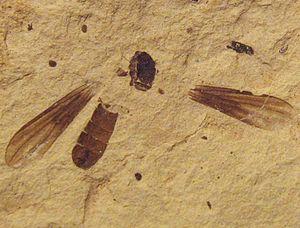 Metanephrocerus - Metanephrocerus belgardeae holotype