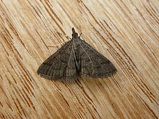 <i>Metasia achroa</i> species of insect