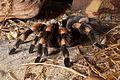 Mexican Red Knee Tarantula (Brachypelma smithi).jpg