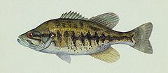 Micropterus notius.jpg