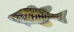 Micropterus notius