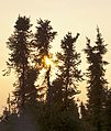 Midnight sun through spruce trees, Inuvik, NT.jpg
