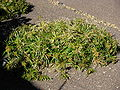 Midterrean climate spikey grass.JPG