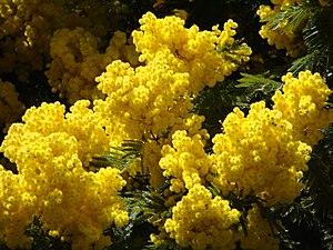 English: acacia dealbata Français : acacia dea...