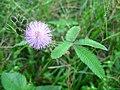 Mimosa foliage bud flowerhead.jpg