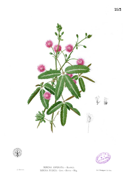 Mimosa pudica Blanco2.253.png