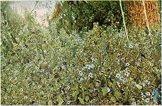 <i>Mimulopsis</i> genus of plants