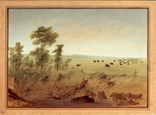Mired Buffalo and Wolves