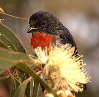 Mistletoebird wynn05