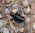 Mites around head. Violet ground beetle. Carabus violaceus. - Flickr - gailhampshire.jpg