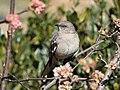 Mockingbird (78213).jpg