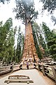 Mom poses at the General Sherman Tree (28177146323).jpg