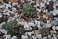 Monadenium ritchei c-2046 01.jpg