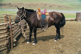 Mongolian horse - A Mongol horse (with trimmed mane) in traditional riding gear