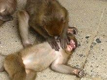 ファイル:Monkey's grooming.theora.ogv