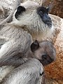 Monkey Mother and Child - Jetavanarama Dagoba - Anuradhapura - Sri Lanka - 02 (14151390595).jpg