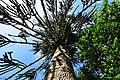 Monkey Puzzle tree - geograph.org.uk - 1466622.jpg