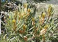 Mono Lake - Pinyon Pine (Pinus monophylla) near Lee Vinning Creek - needles and developing cones.JPG