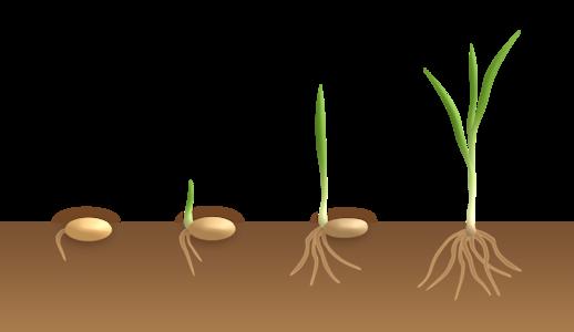 Monocotyledon flower germination - hypogeal.png