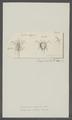 Monoculus satyrus - - Print - Iconographia Zoologica - Special Collections University of Amsterdam - UBAINV0274 100 01 0007.tif