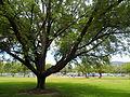 Moore Park Tree.jpg