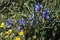 Moraea sisyrinchium, Crete 01(js).jpg
