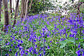 More bluebells (2465009580).jpg