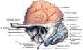 Morris' human anatomy (1933) - Fig 164.png