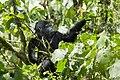 Mountain gorilla (Gorilla beringei beringei) 01.jpg