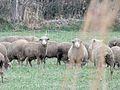 Moutons Mérinos d'Arles 2.jpg