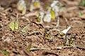 Mudpuddling Butterflies Chinnar WLS Kerala (61).jpg