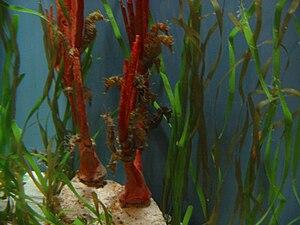 Mote Marine Laboratory - Image: Multiple sea horses on display at Mote Marine Laboratory