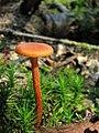 Mushroom-IMG 3447.JPG