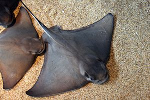 Bat ray - Image: Myliobatis californica monterey bay aquarium