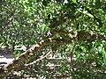 Myrciaria Cauliflora.JPG