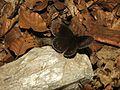 NP Kopaonik (NP02) - Leptir Erebija (Erebia medusa).jpg