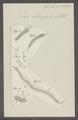 Nais elinguis - - Print - Iconographia Zoologica - Special Collections University of Amsterdam - UBAINV0274 103 06 0006.tif