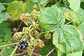 National colection of Rubus, Poznan, Dendrological Garden (Rubus henrici egonis).JPG